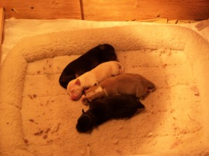 Puppies - 4 days old